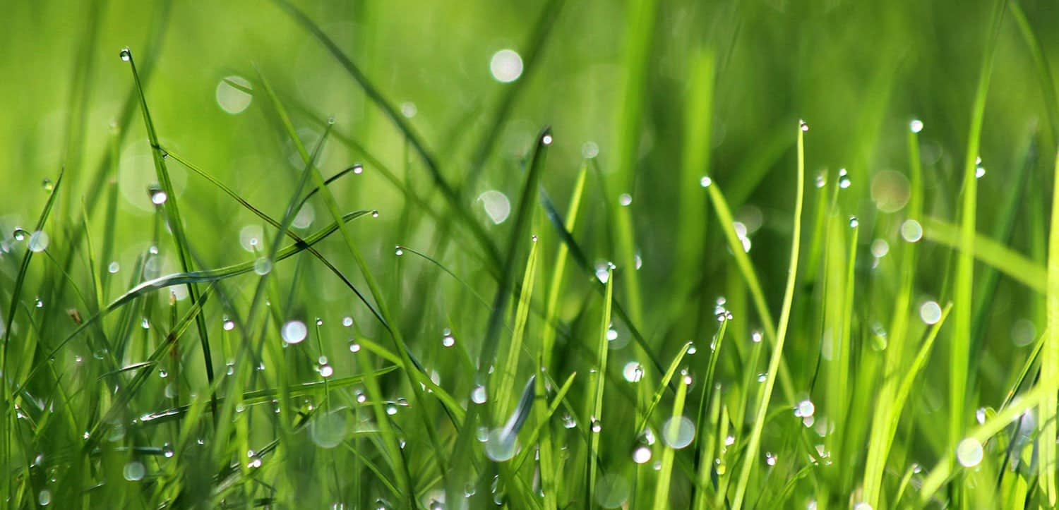 A close up of grass with dew on it.